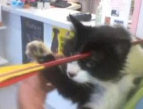 Moomoo, le chat qui a survécu à une flèche dans le crâne | Mais n'importe quoi ! | Scoop.it