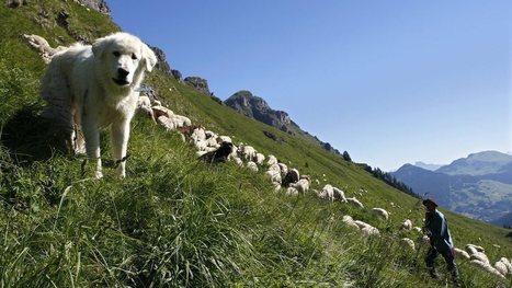 Loup: pas d'indemnisations pour les éleveurs qui quittent un alpage par peur du prédateur | Loup | Scoop.it