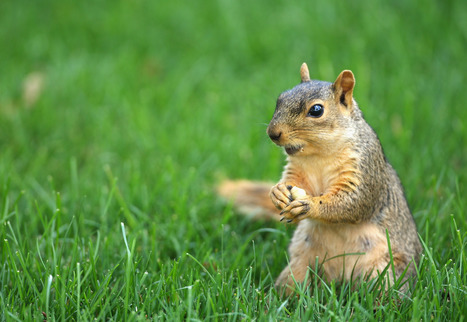 Yale University Squirrels Missing | Observer | News and ... | The Real Squirrels of McDaniel College | Scoop.it