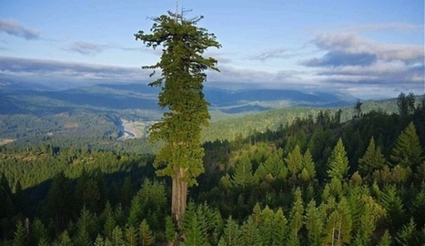 Hyperión, el árbol más grande del tercer planeta - VeoVerde | La Vida Simplemente | Scoop.it