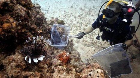 Poisson-lion : lutter contre sa prolifération en apprenant aux requins et aux murènes à les manger ? | Carnets de plongée | Scoop.it