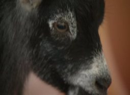 City council tells local girl she's got to get rid of pet pygmy goat - Q13 FOX | my | Scoop.it