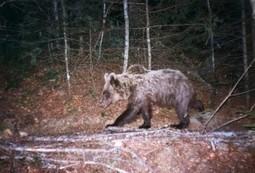 Mort de l'ourse Cannelle : victoire du WWF dans son procès contre une société de chasse | FERUS | Sauvegarde et Protection des animaux | Scoop.it
