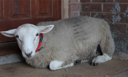 Sheep Thinks He's a Dog (Video) | This Gives Me Hope | Scoop.it