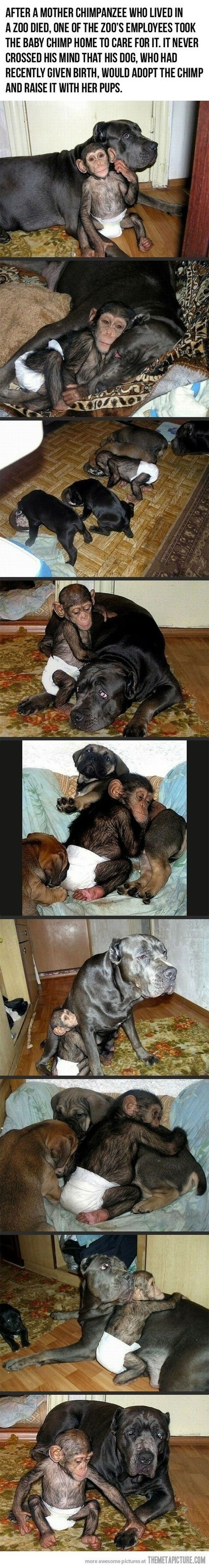 Dog becomes chimp's foster mom | This Gives Me Hope | Scoop.it