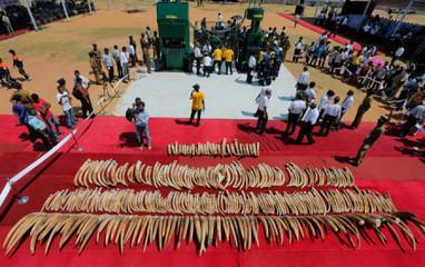 Sri Lanka Destroys 300 Ivory Elephant Tusks   Global Animal   Animals R Us   Scoop.it