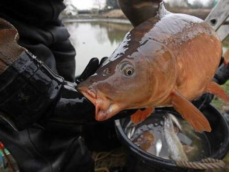 Chemicals in freshwater fish put health at risk | Planet Earth | Scoop.it