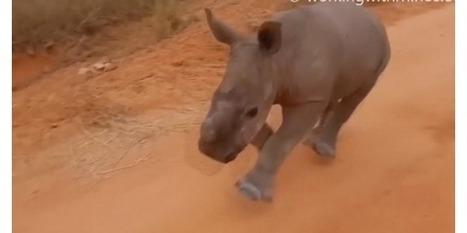 """Le rhinocéros qui répond à l'appel de son prénom   Revue de presse """"Afrique""""   Scoop.it"""