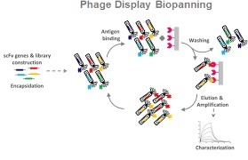 Antibody engineering and antibody therapy | Immunology and Biotherapies | Scoop.it