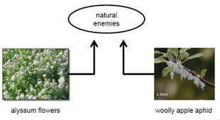 ScienceDirect.com - Biological Control - Flowers promote aphid suppression in apple orchards | plant cell genetics | Scoop.it