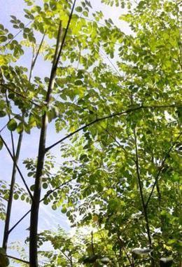 Moringa Oleifera is the best known of the thirteen species of the genus Moringacae. | Miracle Moringa | Scoop.it