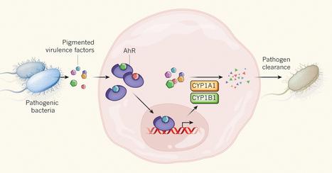 AhR sensing of bacterial pigment regulates antibacterial defence | Microbiome | Scoop.it