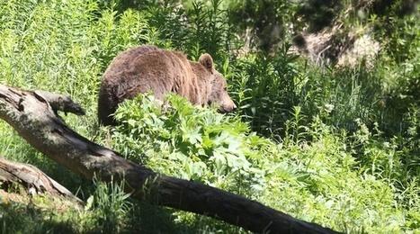Béarn: Privés de femelle, les deux ours mâles encore présents ressentent la solitude   Biodiversité   Scoop.it