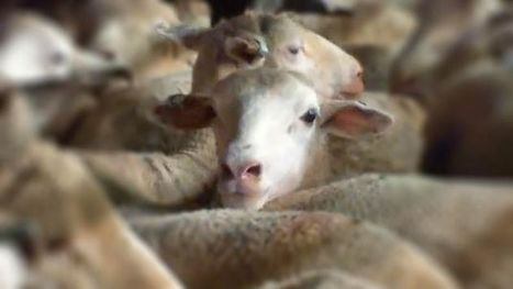 Israël :(( Live export offloading cruelty exposed - TAKE ACTION | Nature Animals humankind | Scoop.it