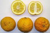 Savvy Natural Healer: Bitter Orange and Weight Loss | What Doctors Probably Won't Tell You About Diabetes | Scoop.it