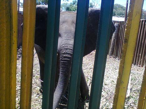 Undercover Photos: Plight of Zimbabwe's Captured Baby Elephants | Biodiversity | Scoop.it