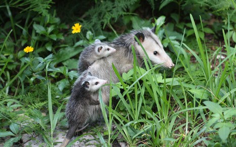 WTH?! Opossum Cruelty Now Allowed in North Carolina   Animal rights   Scoop.it