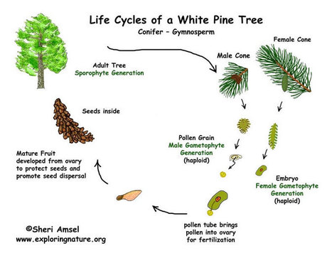 Pine Tree Life Cycle (Gymnosperm) -- Exploring Nature Educational Resource | elementary school science | Scoop.it