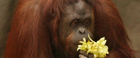 Court Rules Captive Orangutan Is 'Non-Human Person' And Can Be Freed | Xposed | Scoop.it
