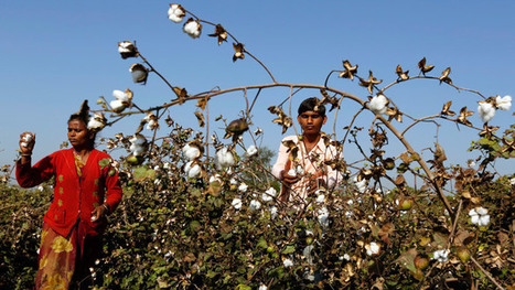 GMO that kills: GM-cotton problems drive Indian farmers to suicide | AP Human Geography | Scoop.it