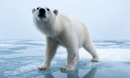 What Have We Done??? Polar bears 'may need to be fed by humans to survive' | rhinos | Scoop.it