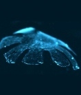 Scientists built artificial jellyfish from silicone and muscle cells from a rat's heart | Amazing Science | Scoop.it
