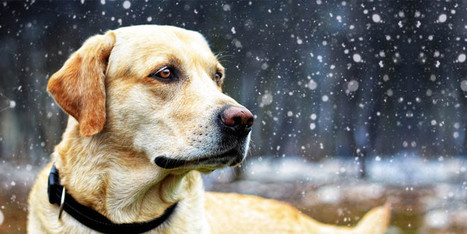 Il Labrador: un cane dal carattere meraviglioso   best5.it   Vari   Scoop.it
