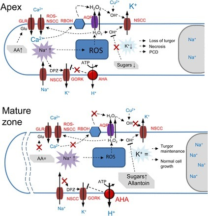 Cell-Type-Specific H+-ATPase Activity in Root Tissues Enables K+ Retention and Mediates Acclimation of Barley (Hordeum vulgare) to Salinity Stress | Plant roots and rhizosphere | Scoop.it