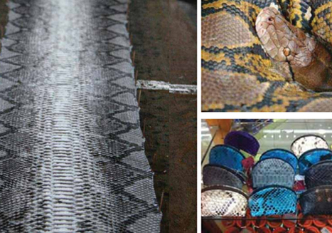 Fashion Industry Continues to Enable Unsustainable Trade of Wild Python Skins | EcoWatch | Scoop.it