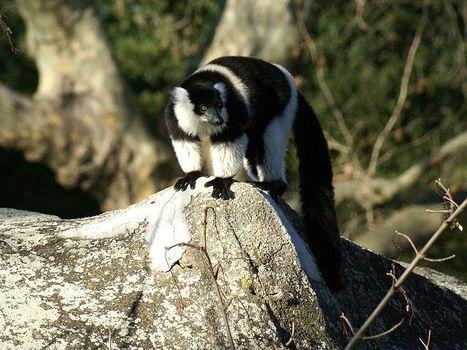 Photos de lémuriens : Lémur vari à ceinture blanche - Maki vari - Varecia variegata subcincta | Fauna Free Pics - Public Domain - Photos gratuites d'animaux | Scoop.it