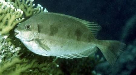 Le poisson-lapin cause la paralysie et peut etre mortel | RadioExpressfm.com | Aquariophilie | Scoop.it