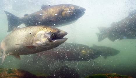 Sonoma salmon huge deal - Stockton Record | Fish Habitat | Scoop.it