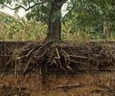 Sciences au Sud n° 78 - Recherches : Racines, la précieuse face cachée des plantes - Institut de recherche pour le développement (IRD)   AGRONOMIE VEGETAL   Scoop.it