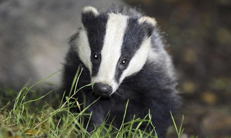 Badger cull called off in Gloucestershire | Nature Animals humankind | Scoop.it