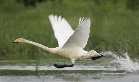 Swans Help Create Smoother Camera Drone Videos | Biomimicry | Scoop.it