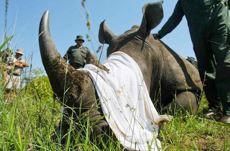 A Brief History of the Long Fight to End Rhino Slaughter | What's Happening to Africa's Rhino? | Scoop.it