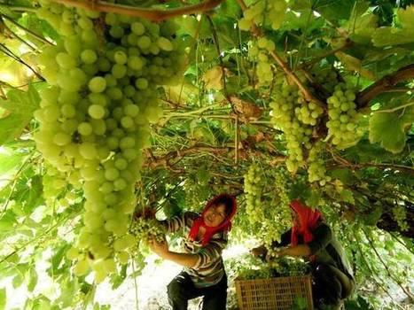 #China overtakes #France to become world's second biggest #wine growing area | Vitabella Wine Daily Gossip | Scoop.it