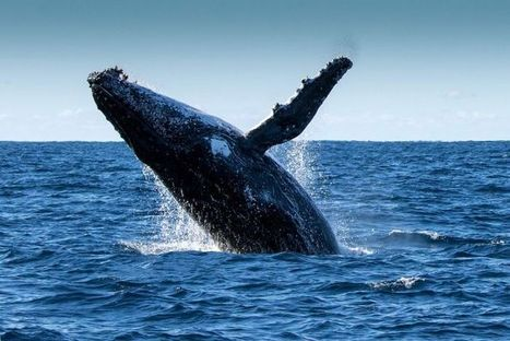 Humpback whale population growth shows no sign of slowing down, says ... - ABC Online | World whale rescue | Scoop.it