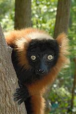 IUCN - Emergency three-year action plan for lemurs | Semiotic Adventures with Genetic Algorithms | Scoop.it