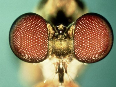 Nature Blows My Mind! Optical Wonders of Insect Eyes   Democritus   Scoop.it