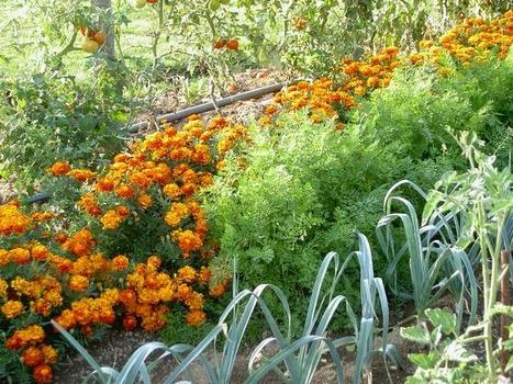 Les associations au potager biologique (de Madorre) ! | pour mon jardin | Scoop.it