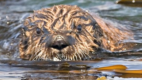 It only takes otters 25 years to recover from an oil spill | Geography | Scoop.it