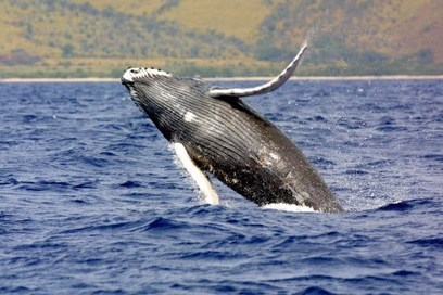 Feds Consider Removing Humpback Whales From Endangered List | TIME.com | Sustain Our Earth | Scoop.it
