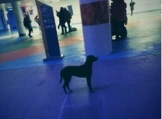 A Stray Dog Appears to Have Wandered into the Sochi Opening Ceremonies | Dogs Gone Wild | Scoop.it