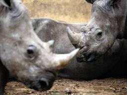 Poachers switching their tactics - Crime & Courts | IOL News | IOL.co.za | Kruger & African Wildlife | Scoop.it