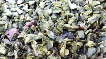 "Oyster recovery ""amazing"" in Shore creek 