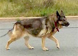 "SIGHTED: Roaming Dog: Millwood Dr., Lower Sackville, Halifax Co., NS — German Shepherd, Male, Adult — ""Unknown"" 