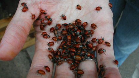 Good luck? Or good riddance? Ladybug invasion reported at Mid-South homes - WMC-TV | Bug Hugger | Scoop.it