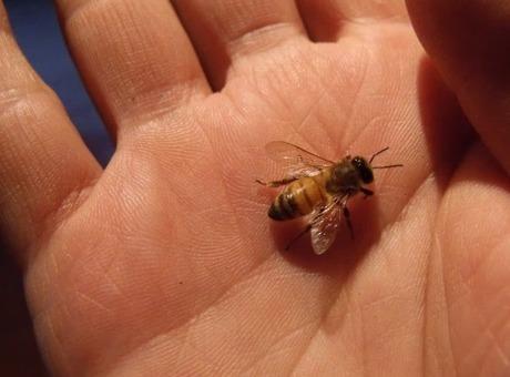 Le règne des insectes pollinisateurs   Christophe Salin ...   Abeilles, intoxications et informations   Scoop.it