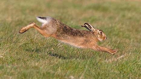 Hare coursers run riot, damaging wheat crops - Farmers Weekly | Animal welfare | Scoop.it